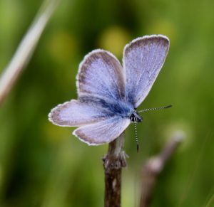 Fender's Blue Butterfly Reaches Recovery Milestone